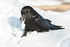 Raven teating open lard package on ground.