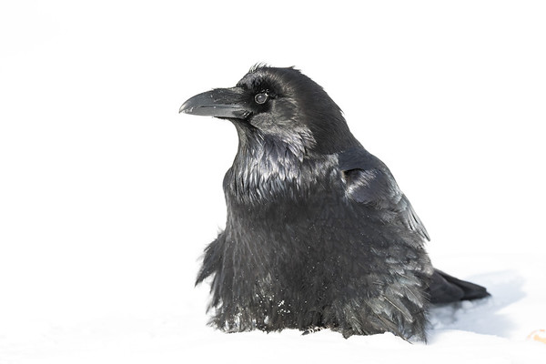 Raven in the snow, looking to camera left.