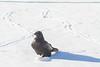 Raven walking in snow. Tracks behind.