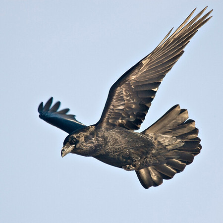 Raven in flight, both wings up, far wing blurred, against blue sky