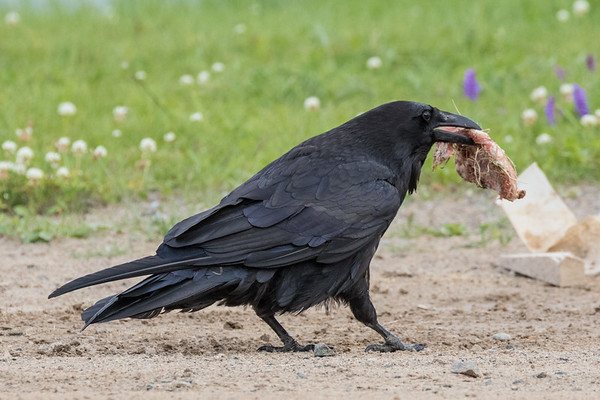 Adult raven carrying a piece of meat in its beak.