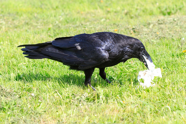 Raven eating lard.