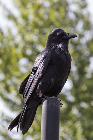 Raven on vent stack.