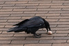 Raven on the roof with a drumstick. Note exposed shaft of feathers.