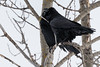 Two ravens in the trees.