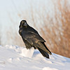 Raven on chunk of snow, looking