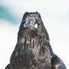 Raven, head shot, snow on and around beak.