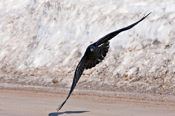 Raven flying low and turning above roadway.