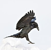 Raven landing, wings up, feet grabbing for snow, cropped to 2048 pixels square