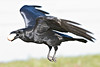 Raven in flight, wings bent, feet down, carrying brown egg in beak.