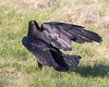 Raven walking on the ground, wings up and bent.