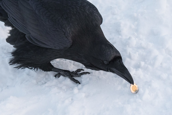 Raven picking up a toonie (Canadian two dollar coin). It put it down immediately as it realized it was not food. Not fascinated by shiny non edible objects.