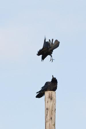 Crow harrassing raven on utility pole