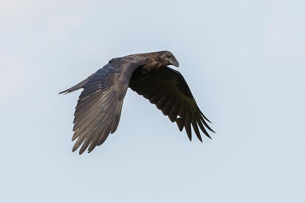Juvenile raven in flight, wings down.