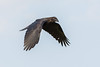 Juvenile raven in flight, wings down.