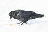 Raven about to pick up an egg from the snow. Nictating membrane half closed over eye.