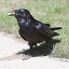 Raven walking from grass onto sidewalk, grapes in mouth.
