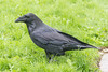 Raven in the grass.