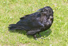 Adult rven on the grass, beak open, head turned.