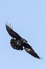 Raven in flight, banking, wings out straight, beak open.