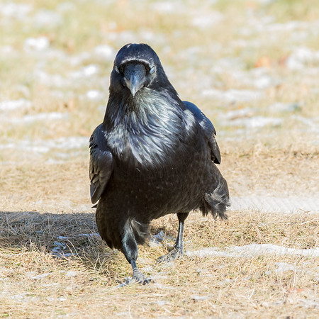 Raven walking on the grass. Nictating membrane over eyes.