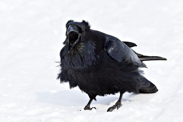 Raven on snow, calling