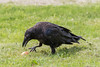 Juvenile raven examining an egg on the ground.