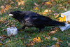 Raven eating lard on the ground.