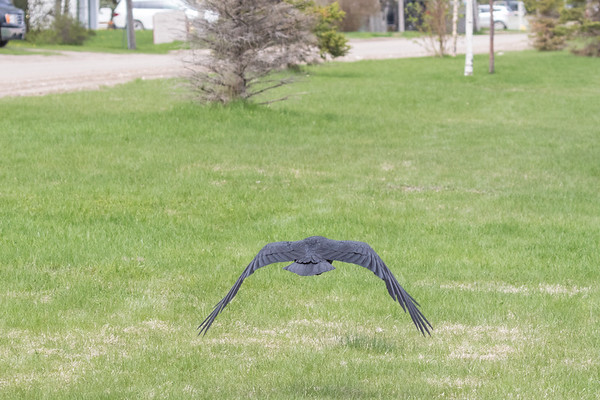 Raven flying away from the camera low over grass.