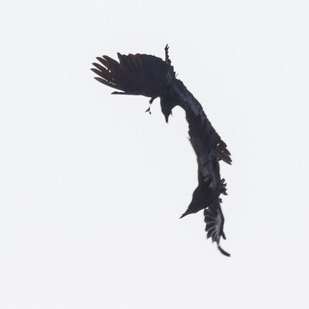 Crow harrassment of Raven.