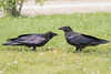 Two juvenile ravens on the ground.