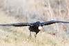 Raven taking off from grass with an egg in its beak. One wingtip out of frame.