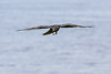 Juvenile raven in flight over water, feet down, wings out.