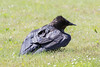 Raven sitting on the grass spreading wings.