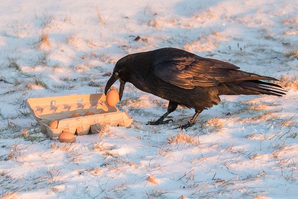 With nictating membrame partially closed over eye, a raven takes an egg from a carton on the snow.