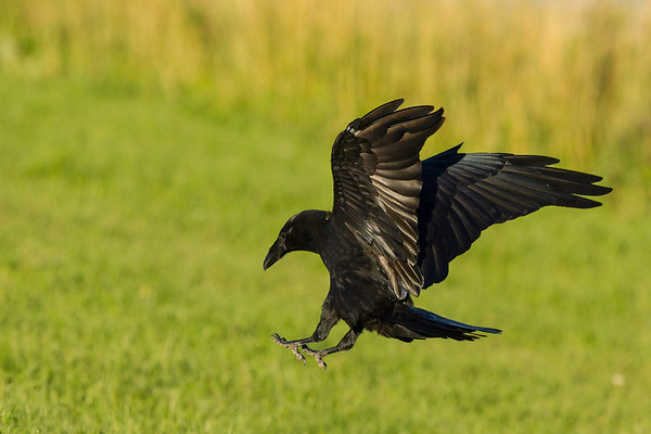 Raven landing on the river bank in Moosonee. Both wings up, feet spread.
