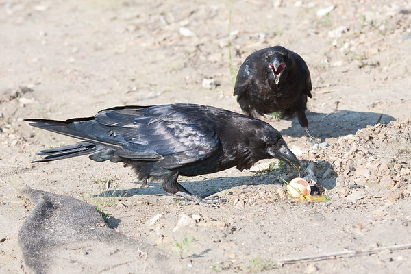 Juvenile raven top) watches adult eat egg yoke.