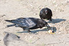 Juvenile raven top) watches adult eat egg yoke.