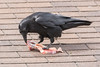 Raven enjoying meat on the roof.