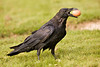 Raven on ground carrying brown egg