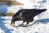 Raven picking up an egg frm snow covered walkway.