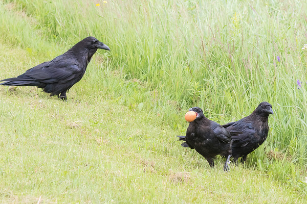 Adult raven watching two juvenile ravens with an egg, seemingly unsure about what to do with it.