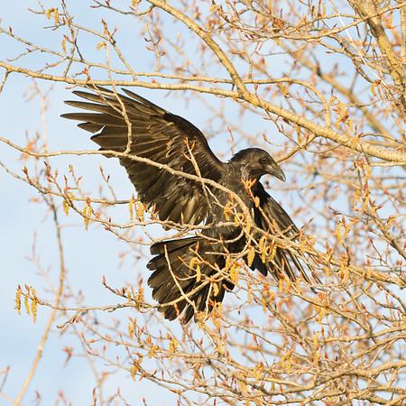 Raven landing ina tree.