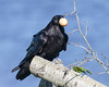 Raven on a log with an egg in its beak.