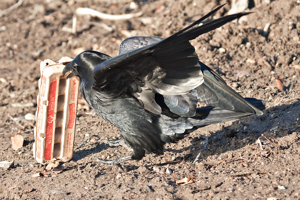 Raven investigating egg carton on the ground.