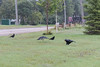 Raven carrying egg in its beak approaching three crows.