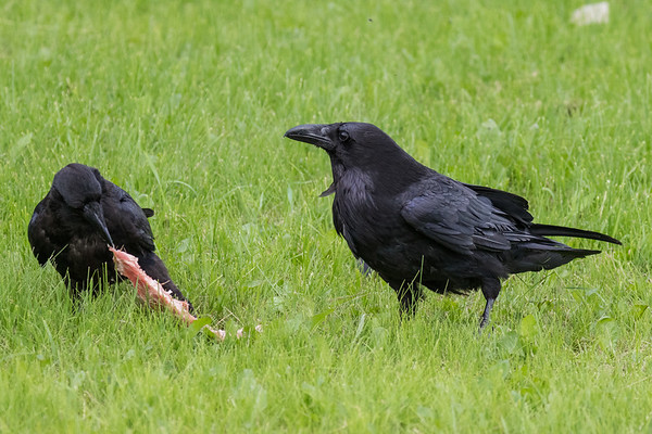 Juvenile raven pulling piece of meat away from adult.