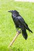 Raven on water shutoff. Nictating membrane over eye.