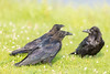 Two juvenile ravens at left with adult at right (out of focus).