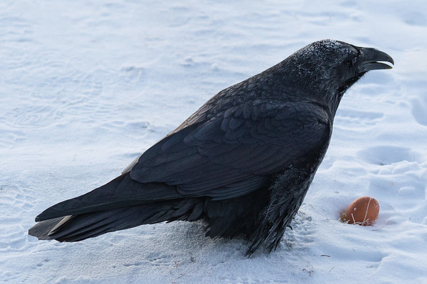Frosted raven enjoying an egg on a cold morning in Moosonee.